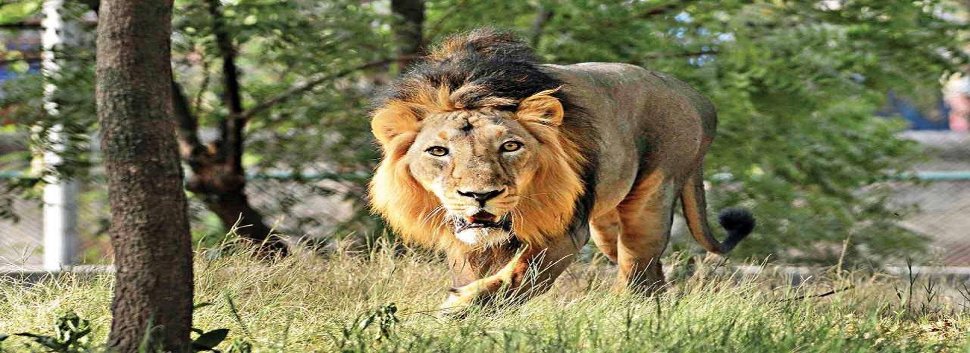Visiting Lion Safari Etawah in Agra Tour